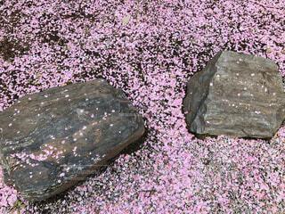 桜,屋外,ピンク,花びら,岩,地面