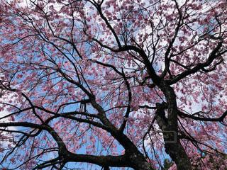 空,桜,屋外,ピンク,木の下