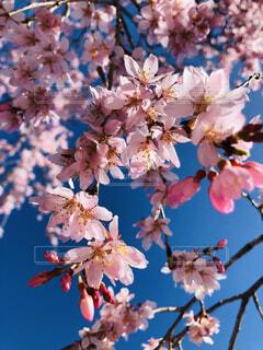花,春,桜,屋外,ピンク,青空,樹木,蕾,桜の花