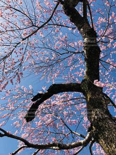 花,春,桜,屋外,ピンク,青空,樹木,枝垂れ桜,桜の花