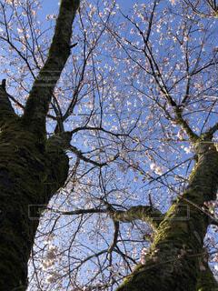 空,春,桜,森林,木,屋外,ピンク,青空,樹木,草木,桜の花,ソメイヨシノ
