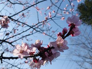 空,春,桜,屋外,ピンク,蕾,桜の花