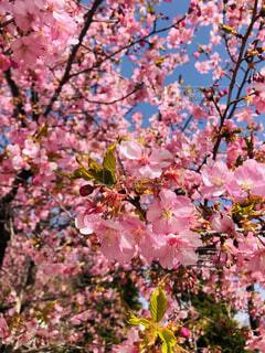 空,花,桜,屋外,ピンク,青空,景色