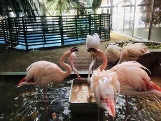 動物,ピンク,池,フラミンゴ