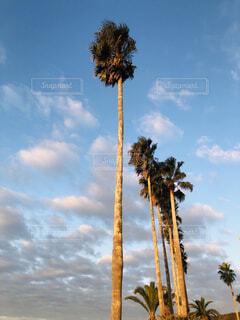 ヤシの木達の写真・画像素材[4396270]