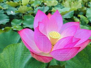 蓮の花の写真・画像素材[4468418]
