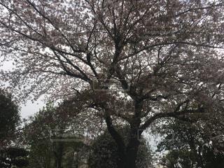 風景,桜,白