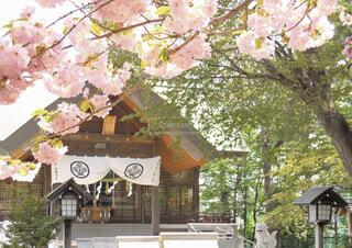 花,春,桜,神社,北海道,日本,Spring,ブロッサム,blossom,信濃神社