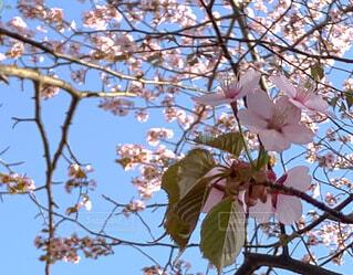 さっぽろの桜の写真・画像素材[4395910]