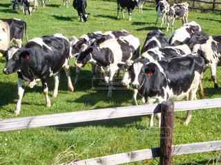 牛さんの群の写真・画像素材[4400303]