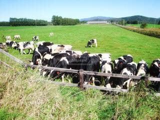 草を食べている牛さんの群れの写真・画像素材[4414624]