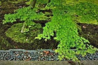 春,紅葉,庭,屋外,緑,葉,景色,草,苔,庭園,新緑,石,若葉,青もみじ,草木