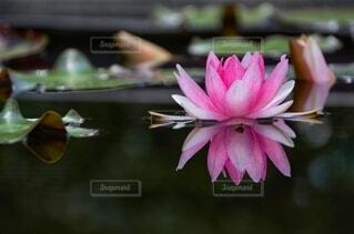自然,花,ピンク,水面,池,リフレクション,睡蓮,草木,スイレン,水生植物,スイレン属,スイレン科