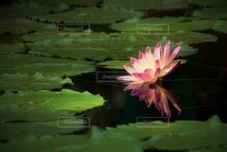 ピンクのスイレンの写真・画像素材[4387564]