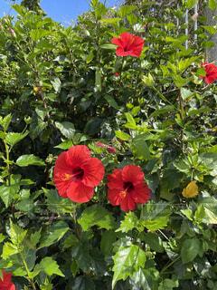 花,夏,屋外,植物,赤,ビーチ,ハイビスカス,沖縄,旅行,夏休み,サマー,バケーション,一人旅,草木,ガーデン,女一人旅,ケシ,フローラ