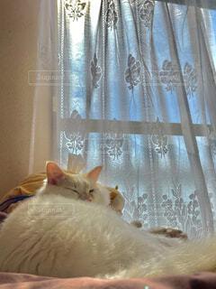 猫,動物,屋内,カーテン,景色,オレンジ