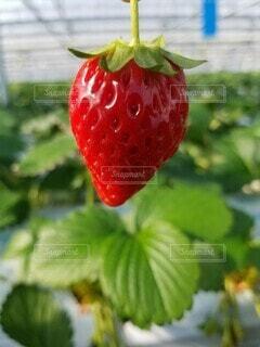 イチゴ農園の写真・画像素材[4381157]