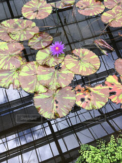 花,一輪,水面,ピンクの花,水に浮かぶ葉
