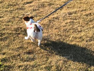 犬,動物,屋外,走る,草,ペット,お散歩,カラー,犬種