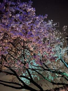 偕楽園の夜桜の写真・画像素材[4379675]