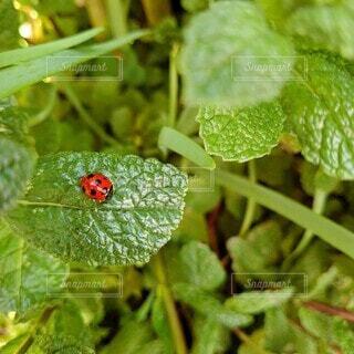 お庭のてんとう虫の写真・画像素材[4385115]