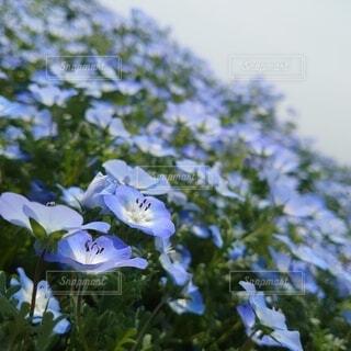 空,花,屋外,樹木,ブルー,ネモフィラ,草木