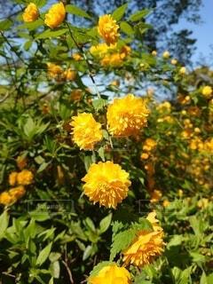 花,屋外,黄色,黄色い花,ヤマブキ,草木,八重