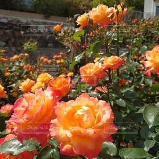 花,オレンジ,薔薇,アンネフランク,アンネの薔薇