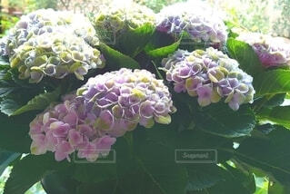 紫陽花の写真・画像素材[4391040]