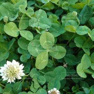 公園,花,屋外,緑,葉,クローバー,四つ葉,四つ葉のクローバー,草木,フローラ