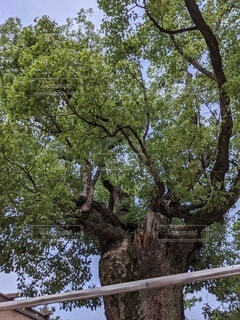 空,森林,木,屋外,葉,大木,古い,樹木,生,草木,立派,年代物