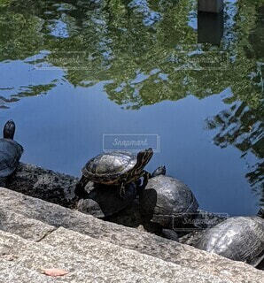 かめと池にうつる木々の写真・画像素材[4466766]