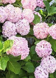 紫陽花の写真・画像素材[4565382]