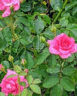 雨の日のバラの写真・画像素材[4950181]