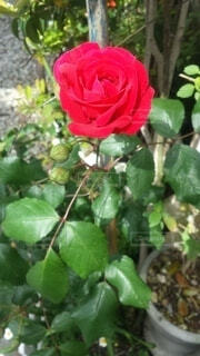 花,屋外,赤,バラ,樹木,草木,フロリバンダ,ハイブリッドティーローズ