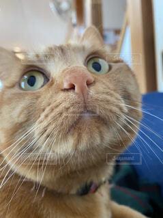 猫,動物,屋内,かわいい,オレンジ,可愛い,目,雑種,口,髭,どアップ