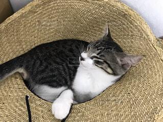 猫,動物,屋内,麦わら,ねこ,子猫,麦わら帽子,ソファ,ネコ科,ネコ,麦わら帽子と猫,猫と麦わら帽子