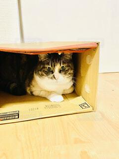 猫,屋内,ねこ,段ボール,大好きな場所,ネコ,落ち着く場所,隠れてる,段ボールと猫,段ボールの中,段ボールの中の猫
