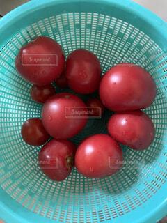 おじいちゃんのトマトの写真・画像素材[4681167]