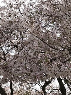 自然,風景,花,春,桜,屋外,植物,景色,樹木,日本,卒業,入学,草木