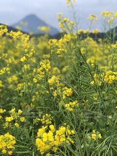 自然,風景,花,屋外,植物,黄色,菜の花,山,景色,草,草木,菜種,広葉