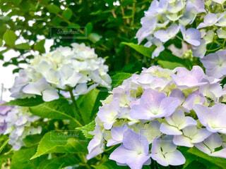 紫陽花のクローズアップの写真・画像素材[4556588]