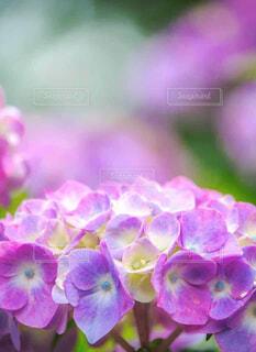 紫陽花の花のクローズアップの写真・画像素材[4582588]
