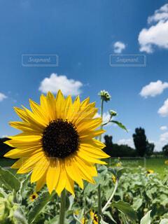 一輪の向日葵の写真・画像素材[4670042]