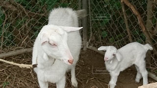 動物,屋外,親子,島,ヤギ,山羊