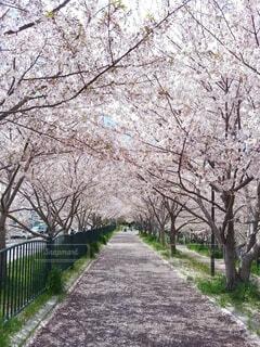 自然,花,桜,屋外,大阪,桜並木,花びら,樹木,遊歩道,草木,高槻市