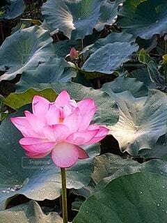 蓮の花と葉っぱの写真・画像素材[4686174]