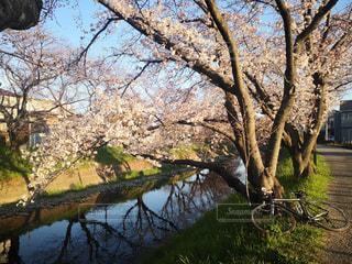 1人,自然,空,花,春,桜,木,屋外,川,水面,花見,樹木,お花見,イベント,ロードバイク,草木,さくら,ブロッサム
