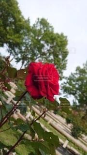 花,赤,バラ,ブロッサム