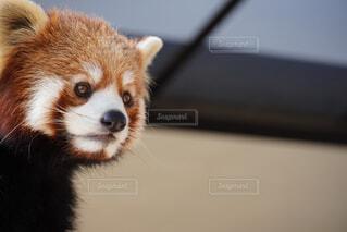 レッサーパンダの写真・画像素材[4434400]